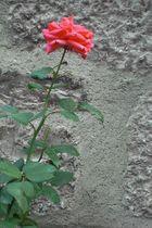 Die Rose an der Wand