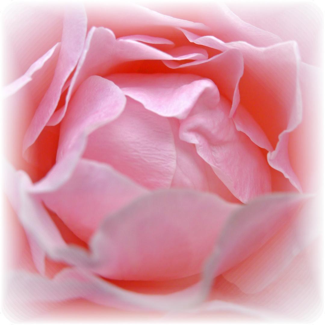Die Rose Ananda