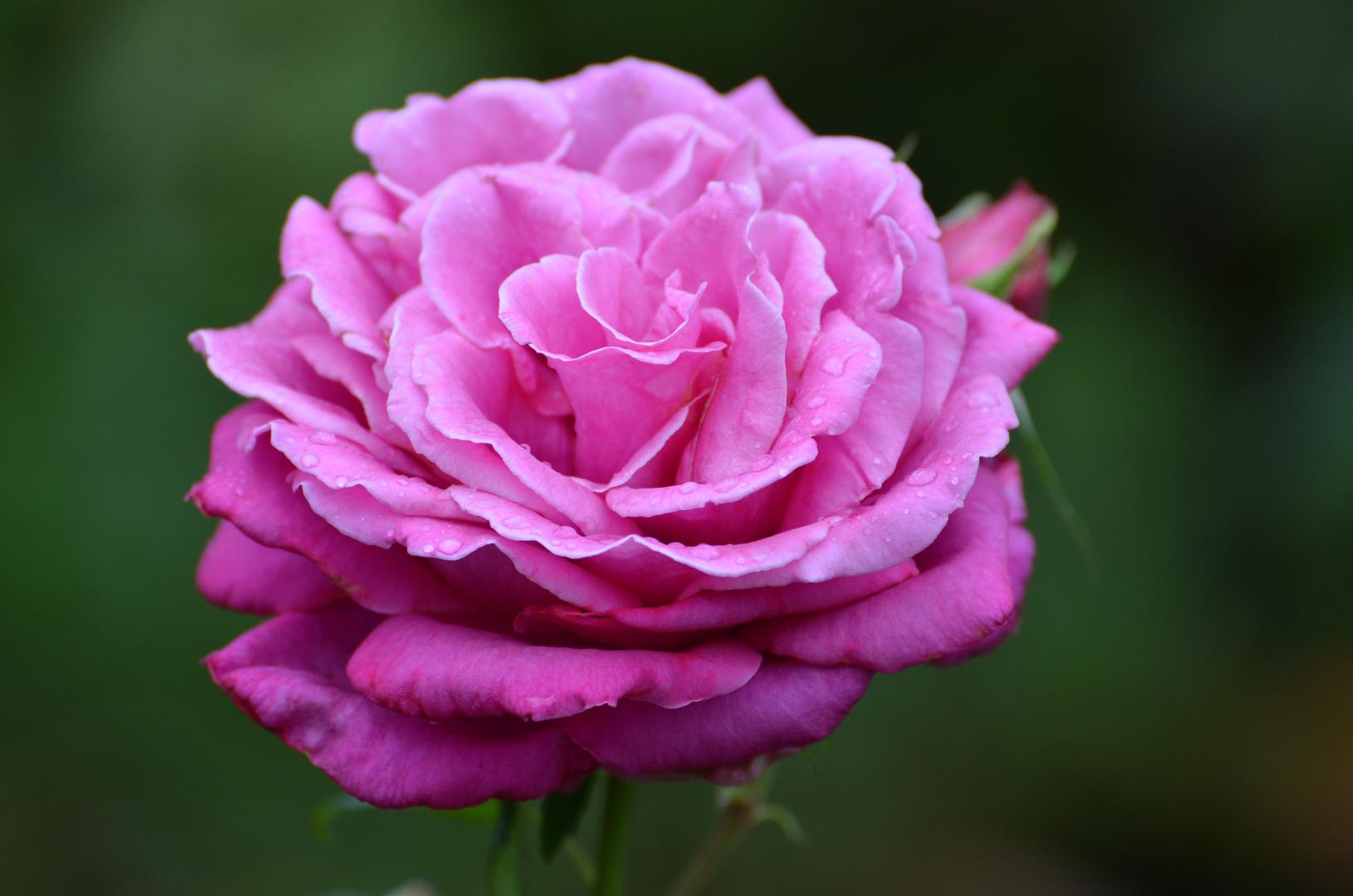 Die Rose aus Nachbars Garten