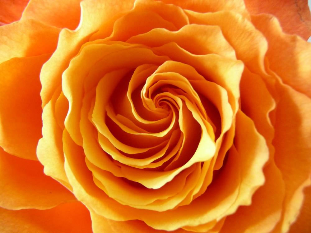 Die Rose, die ich schenkte