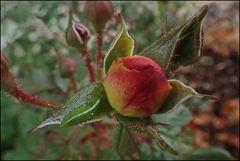 Die Rose hatte interessanten Besuch...