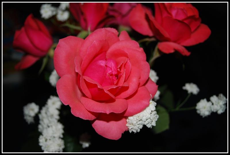 Die Rose im Dunkeln