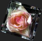 die rose im glas
