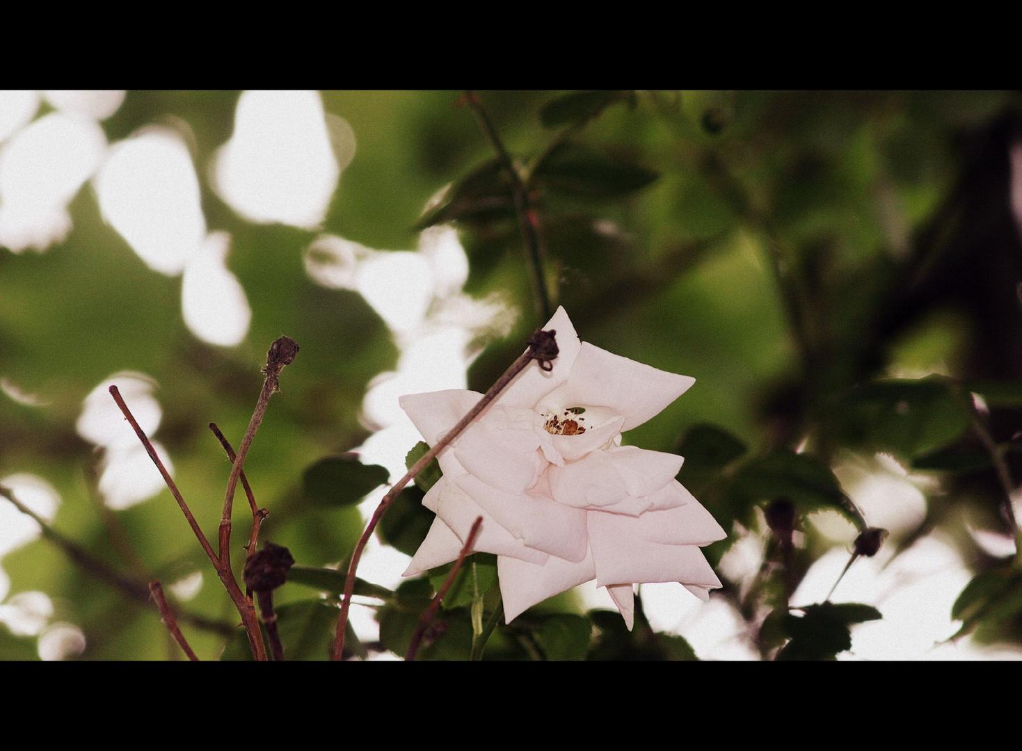 Die Rose im Kirschbaum