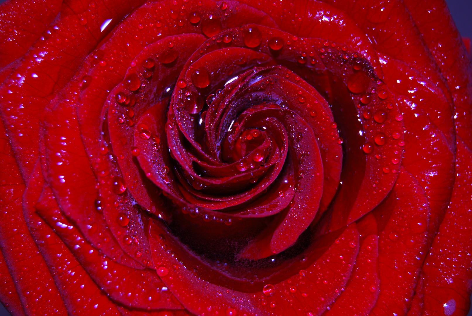 Die Rose im Morgentau