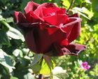 die rose im weinberg