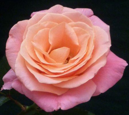 Die Rose ist eine Rose ist eine Rose...
