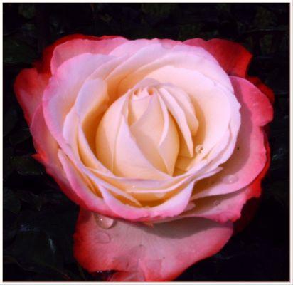 Die Rose ist traurig, der Sommer vorbei!
