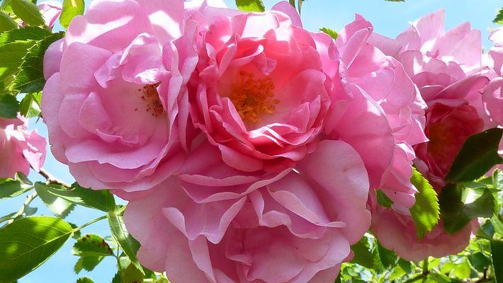 Die Rose spricht alle Sprachen der Welt.