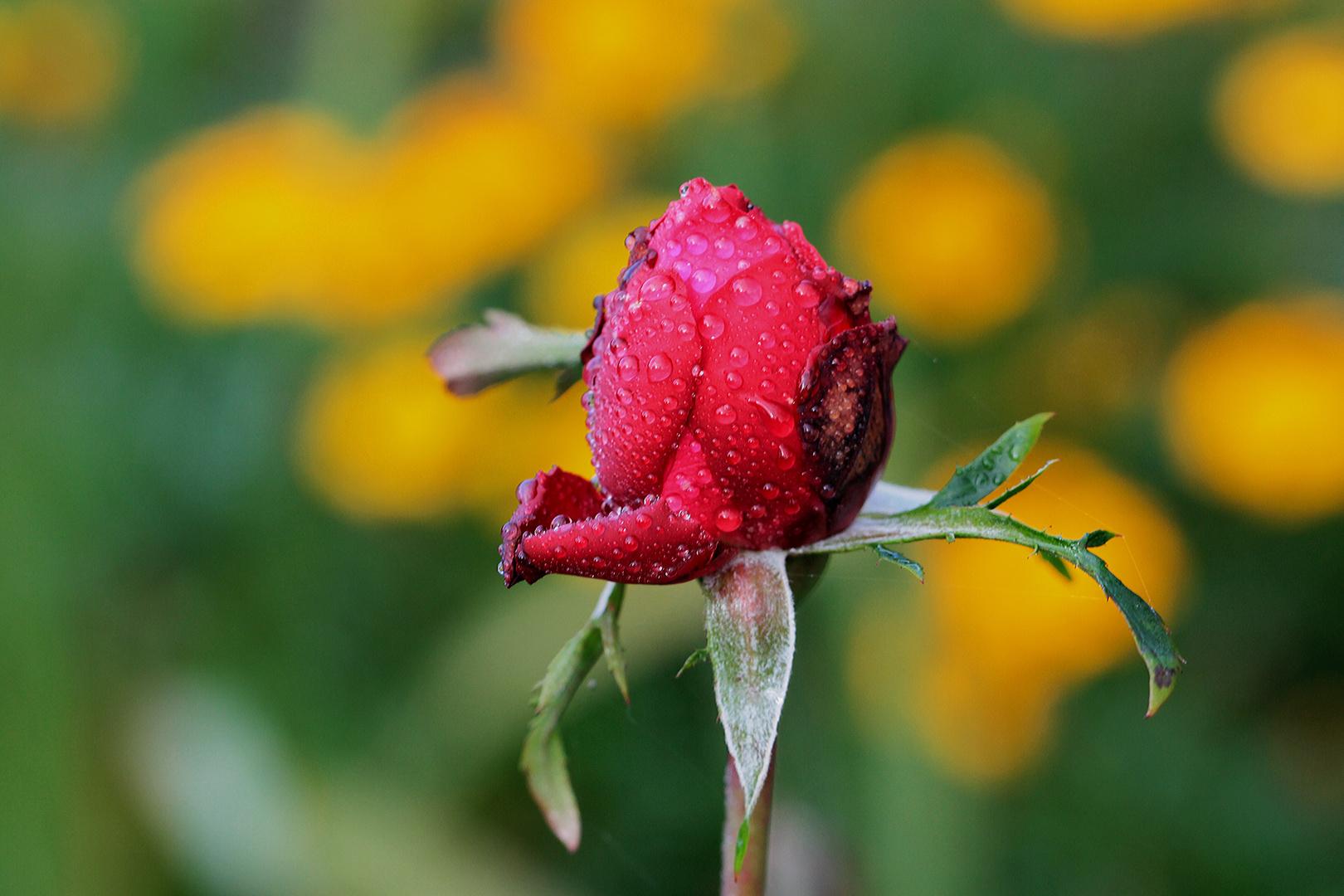 Die Rose Susi im Herbst...