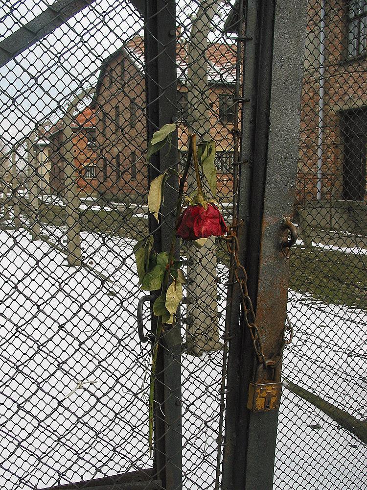 die Rose von Auschwitz