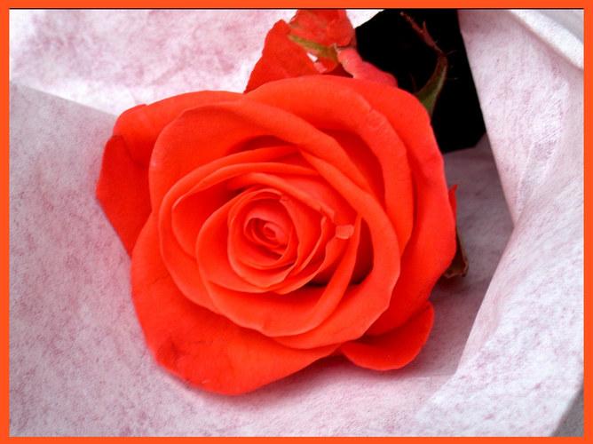 Die Rose - wir denken noch oft an dich!