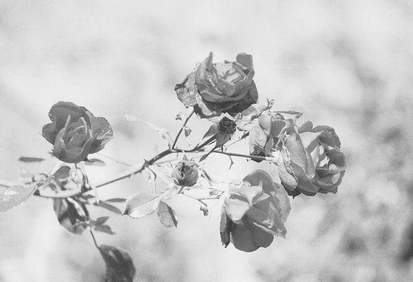 Die Rose..in schwarz/weiss