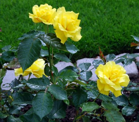 die Rosen:)