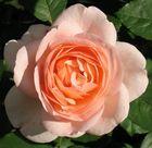 die Rosen meiner Mutter