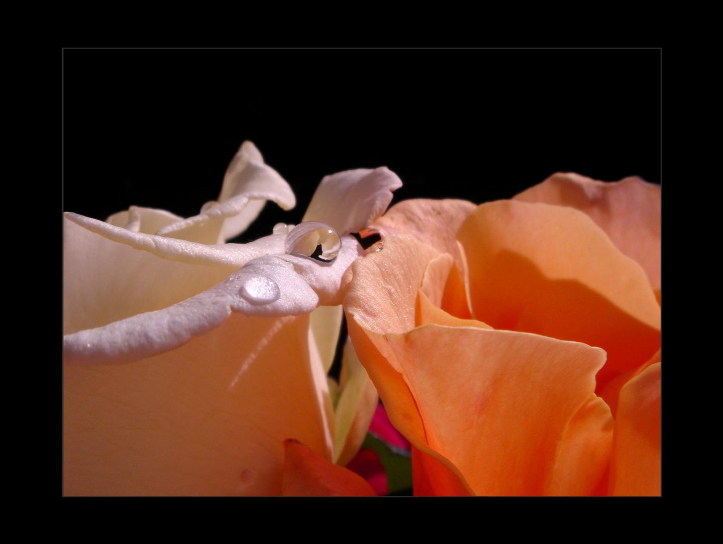 Die Rosen Perlen