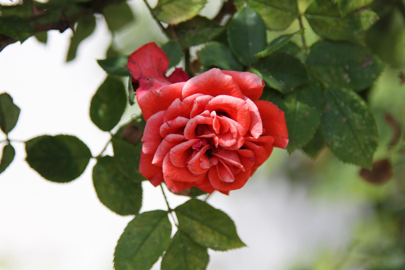 Die Rosen sind schon fast verblüht