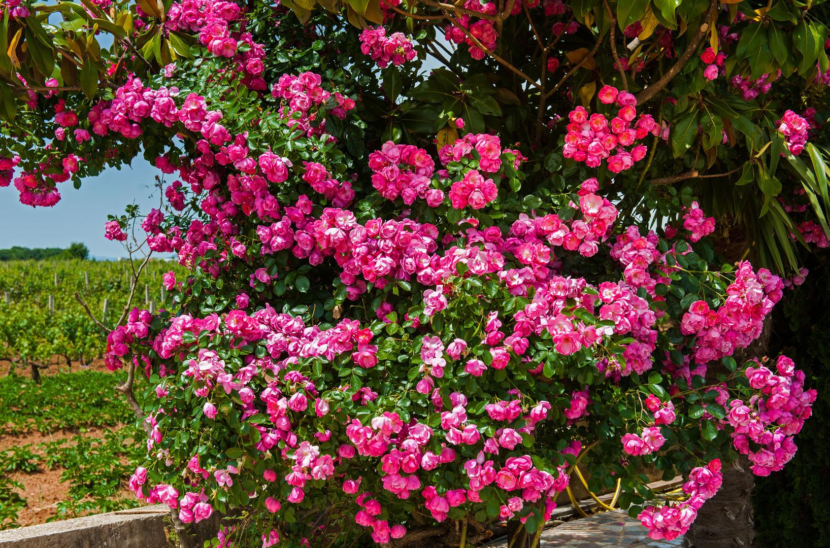 Die Rosen vor dem Weinfeld