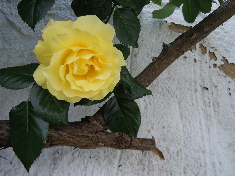 Die Rosenblüte im Hinterhof...