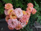 Die Rosenhenne