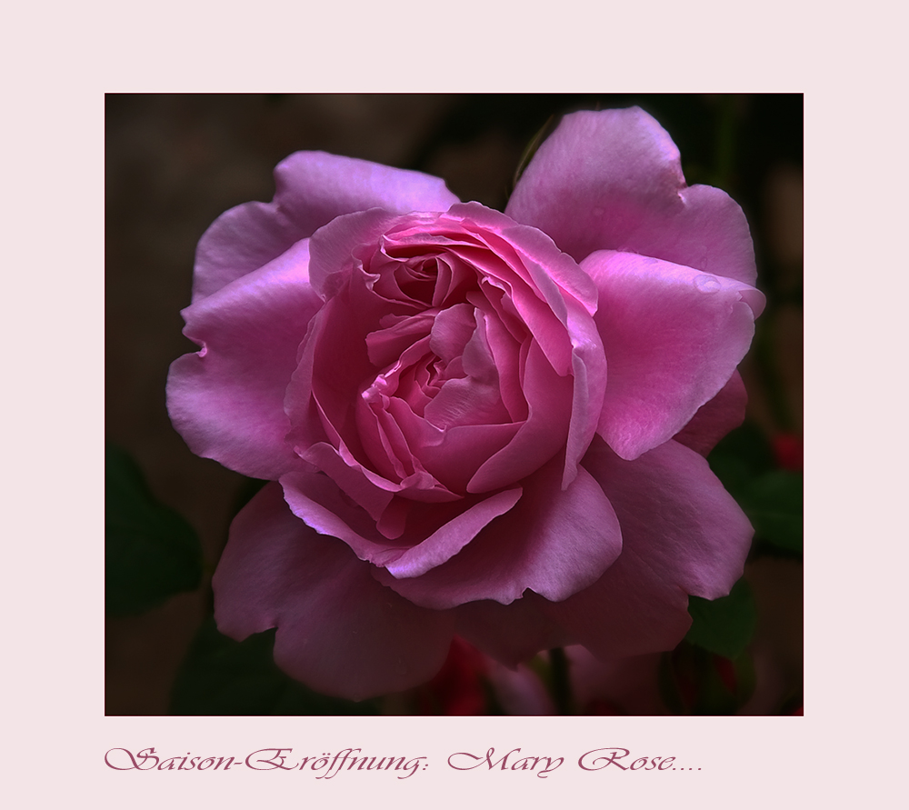 Die Rosensaison 2010 ist eröffnet....
