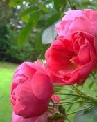 ...die Rosenzeit ...