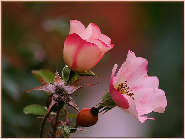die Rosenzeit ist ........