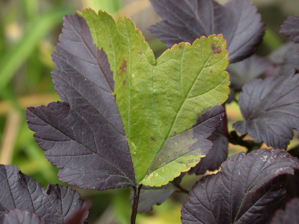 Die Rot-Grüne Koalition (Diabolo-Strauch, Physocarpus opulifolius)