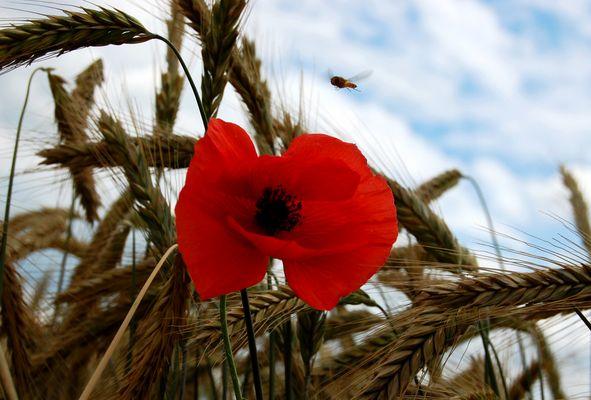 Die rote Blüte