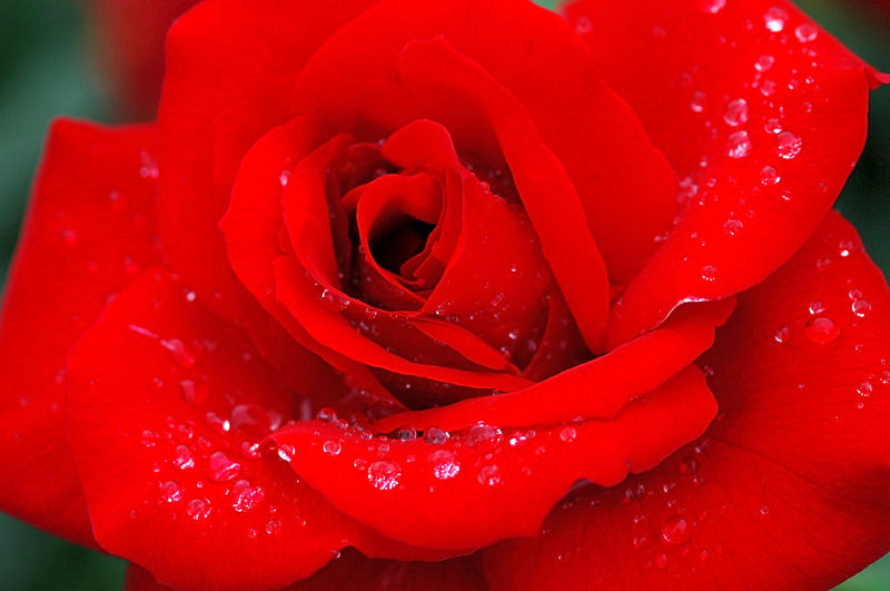 die rote rose