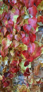 die roten Blätter