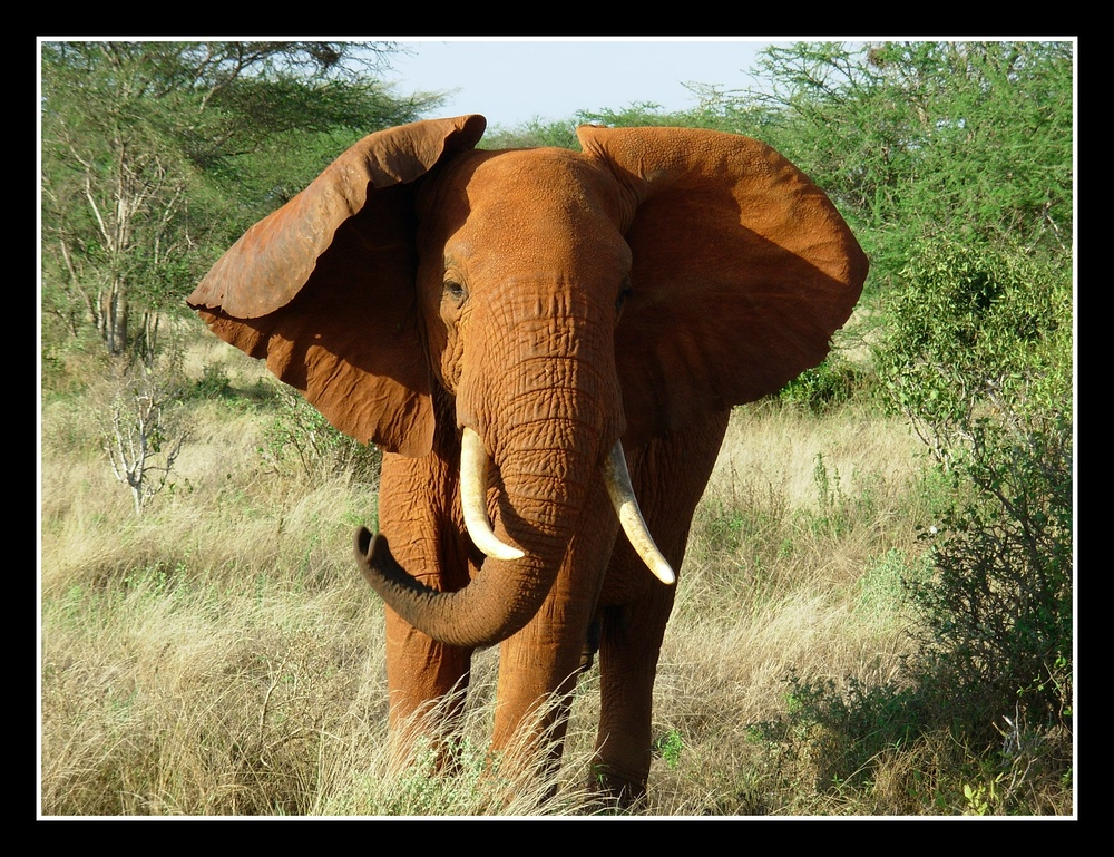 Die roten Elefanten von Tsavo East