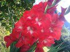 Die roten Gladiolen