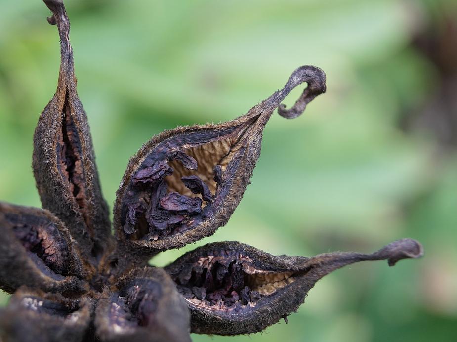 Die Samen der Strauchpeonien sind auch schon rausgefallen....