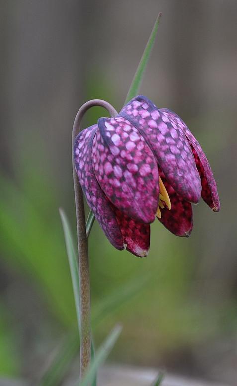 Die Schachbrettblume gehört zu den streng geschützten Pflanzen