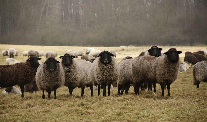 Die Schafe vom Hullerbusch