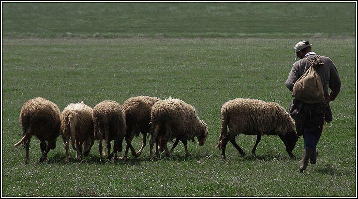 Die Schafherde