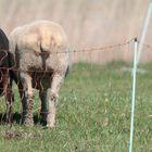 Die Schafstelzen...