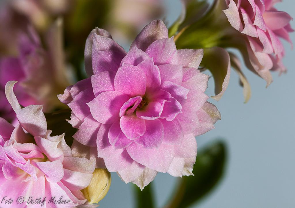 Die scharfe Blüte