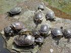 Die Schildkröten aus Odenkirchen