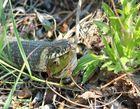 Die Schlange und der Frosch, der Arme