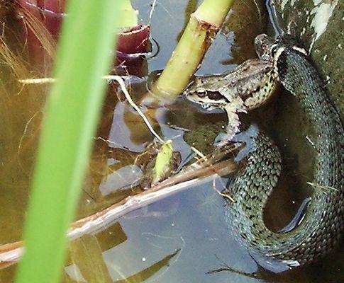 Die Schlange und der Frosch