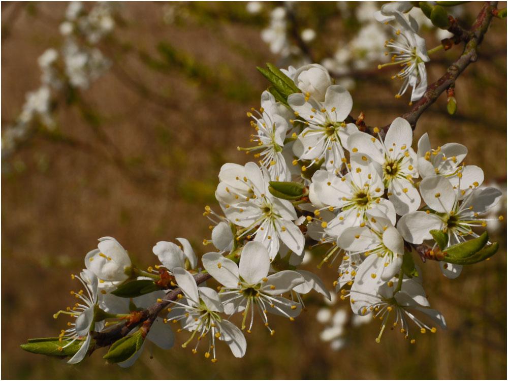 Die Schlehen blühen, es ist Frühling