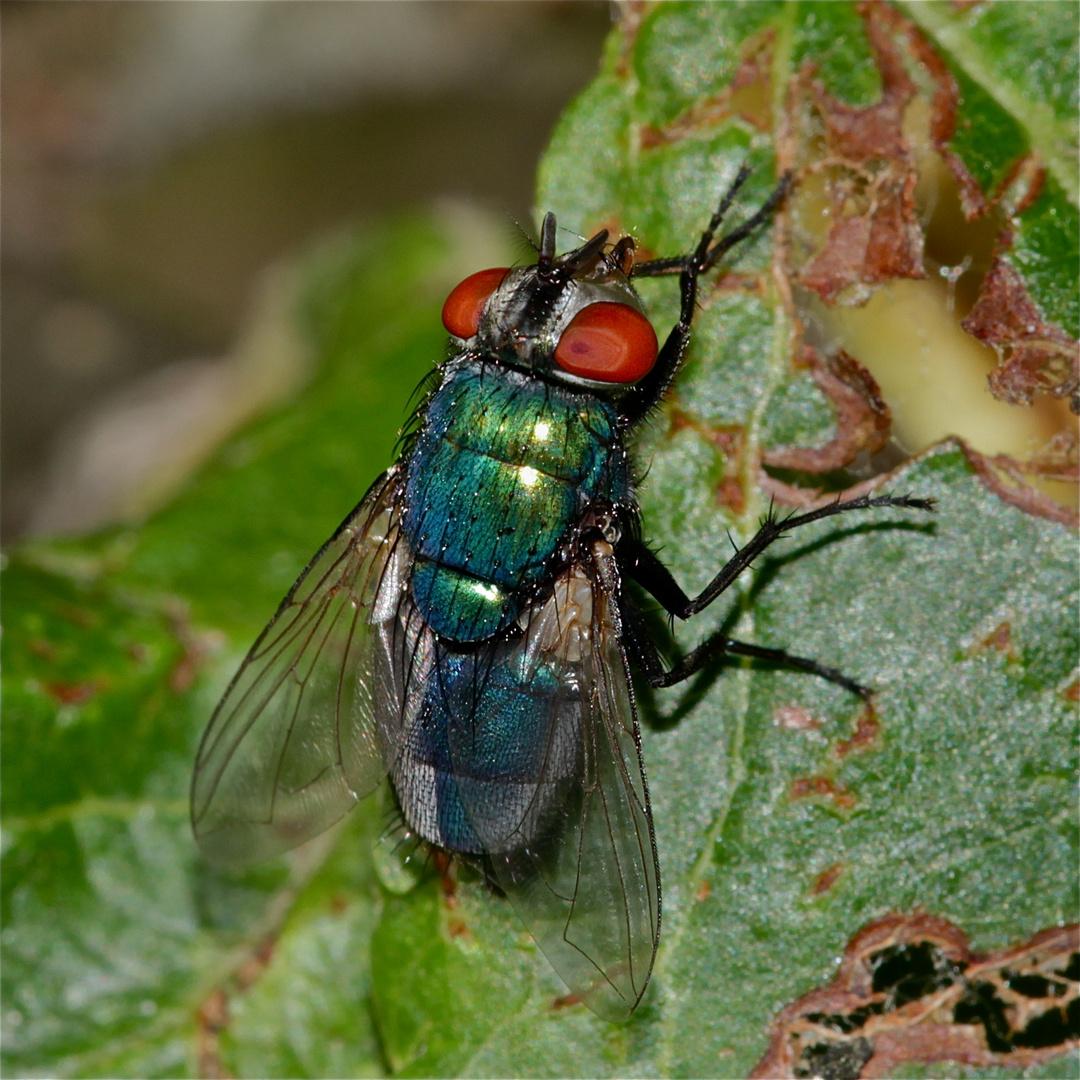 Die Schmeißfliege CALLIPHORA VOMITORIA (Fam. Schmeißfliegen, Calliphoridae)