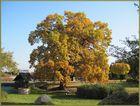 Die Schmerkendorfer Eiche im Herbst - ein Naturdenkmal