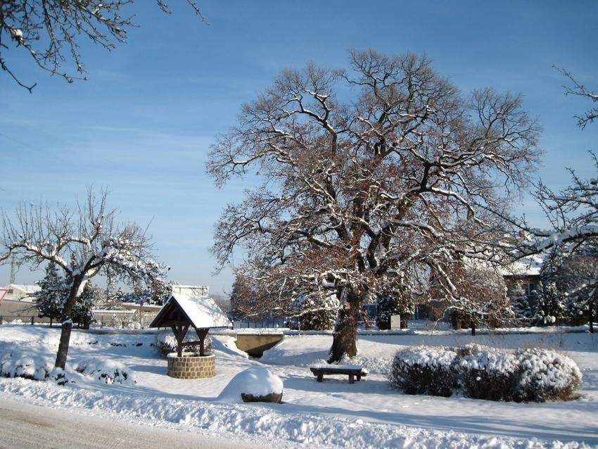 Die Schmerkendorfer Eiche im Winter - ein Naturdenkmal