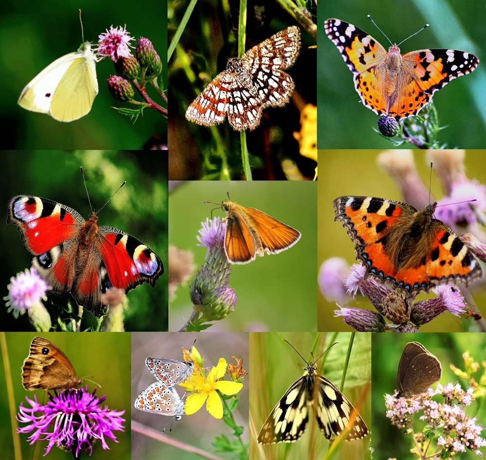 Die Schmetterlinge eines Morgens