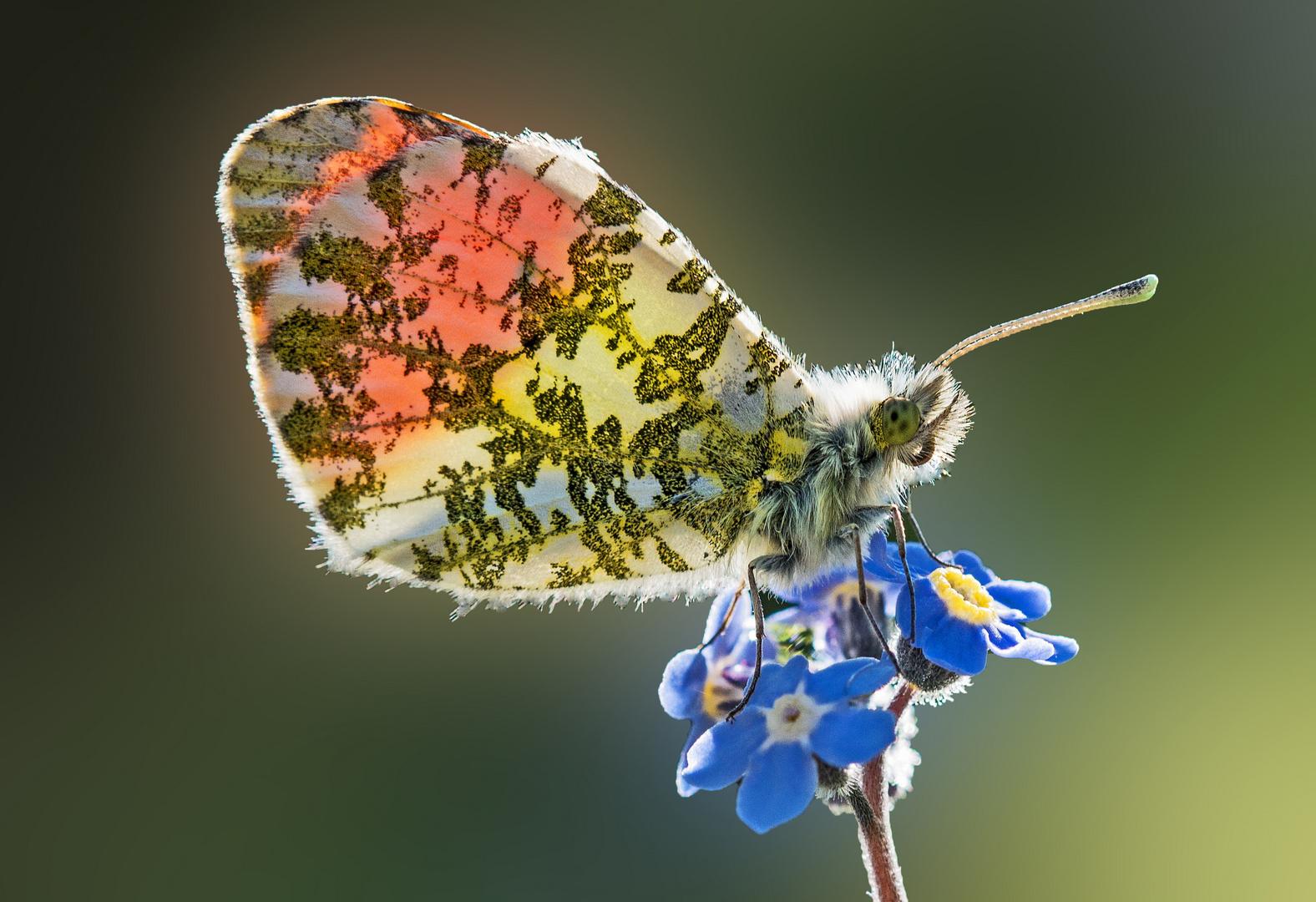 Die Schmetterlinge fliegen wieder...