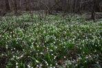 Die Schneeglöckchen läuten den Frühling ein!
