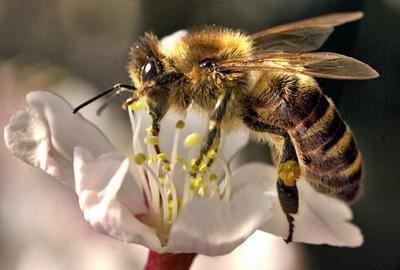 die schöne biene